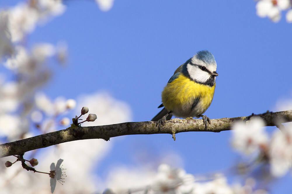 Advizi - La photo représente un oiseau de type rouge gorge mais de couleurs jaune et bleu. L'oiseau est posé sur une branche de cerisier en fleurs.